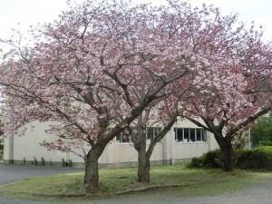 4.19桜\\
